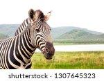 Portrait Zebra Grasslands Background - Fine Art prints