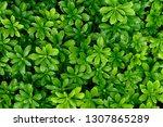 Pachysandra Evergreen...