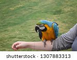 blue and gold macaw perching on ... | Shutterstock . vector #1307883313