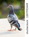 youngster homing pigeon... | Shutterstock . vector #1307993449