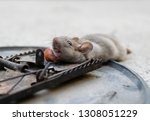 disposal dead mouse caught in... | Shutterstock . vector #1308051229