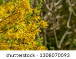 border forsythia is a... | Shutterstock . vector #1308070093