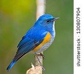 Closeup Of Blue Bird  Male...
