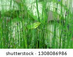 bamboo water plants with cool... | Shutterstock . vector #1308086986