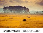 two horses were grazing in the... | Shutterstock . vector #1308190600