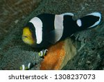 anemonefish  or clownfish  live ... | Shutterstock . vector #1308237073