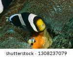 anemonefish  or clownfish  live ... | Shutterstock . vector #1308237079