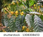 yellow coffee beans on a branch ...   Shutterstock . vector #1308308653