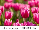 Capture Beautiful Tulips With ...