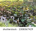 overgrown and neglected lotus...   Shutterstock . vector #1308367429