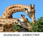 closeup of giraffes  giraffa... | Shutterstock . vector #1308417469