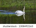 Trumpeter Swan  Cygnus...