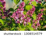 lilac blooms. lilac dissolves... | Shutterstock . vector #1308514579