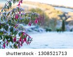 A Frost Covered Fuchsia  With...