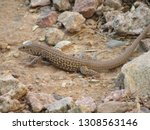 A Whiptail Lizard Foraging For...