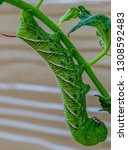Close Up Of Hornworm On A...