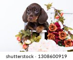 Stock photo dachshund puppy brown tan color and flowers roses 1308600919