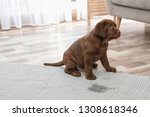 Stock photo chocolate labrador retriever puppy and wet spot on carpet indoors 1308618346