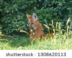portrait of a maned wolf ... | Shutterstock . vector #1308620113