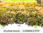 hydroponic lettuces in... | Shutterstock . vector #1308861559