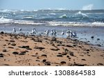 seagulls foraging along the... | Shutterstock . vector #1308864583