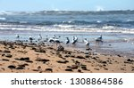 seagulls foraging along the... | Shutterstock . vector #1308864586