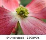 pink dogwood blossom  macro  | Shutterstock . vector #1308906