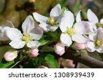 blossoming apple garden in... | Shutterstock . vector #1308939439