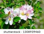 blossoming apple garden in... | Shutterstock . vector #1308939460