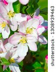 blossoming apple garden in... | Shutterstock . vector #1308939463