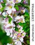 blossoming apple garden in... | Shutterstock . vector #1308939466