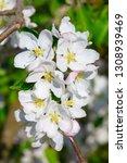 blossoming apple garden in... | Shutterstock . vector #1308939469