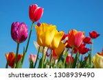 fresh blooming tulips in the... | Shutterstock . vector #1308939490