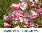magnificent magnolia flowers in ... | Shutterstock . vector #1308939493
