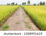 walk way between paddy field in ... | Shutterstock . vector #1308951619