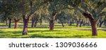 Cork Oak Plantations In...