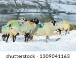 Swaledale Sheep  Female Ewes O...