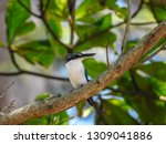 the birds  collared kingfisher  ... | Shutterstock . vector #1309041886