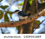 the birds  collared kingfisher  ... | Shutterstock . vector #1309041889