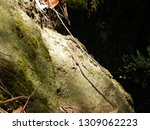 juvenile eastern water dragon... | Shutterstock . vector #1309062223