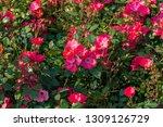 beautiful fresh roses in nature.... | Shutterstock . vector #1309126729