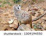suricata suricatta watchful... | Shutterstock . vector #1309194550
