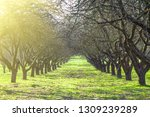 beautiful old fruit tree tree... | Shutterstock . vector #1309239289
