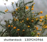 Yellow Gorse Flowers  Early...