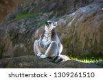 Cool Young Cat Lemur ...