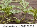 Unripe Little Green Watermelon...