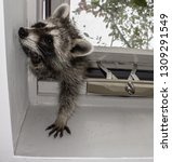 A Baby Raccoon Trying To...