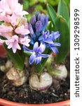 hyacinth  hyacinthus orientalis ... | Shutterstock . vector #1309298599