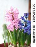 hyacinth  hyacinthus orientalis ...   Shutterstock . vector #1309298620