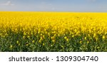 rapeseed  canola or colza field ... | Shutterstock . vector #1309304740